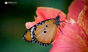 10 Useful Tips on Photographing Butterflies