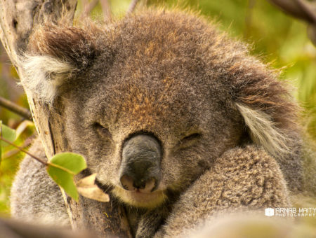The Weekly Frame – Sleepy Koala – The Cutest Australian